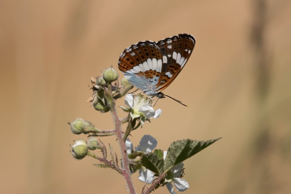 White Admiral Butterfly by Alfies_Girl