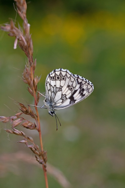 Marbled White (Melanargia galathea) by Ray_Seagrove