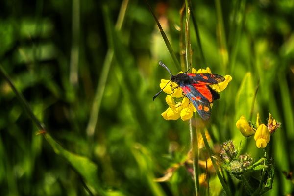 burnet moth by meyeview