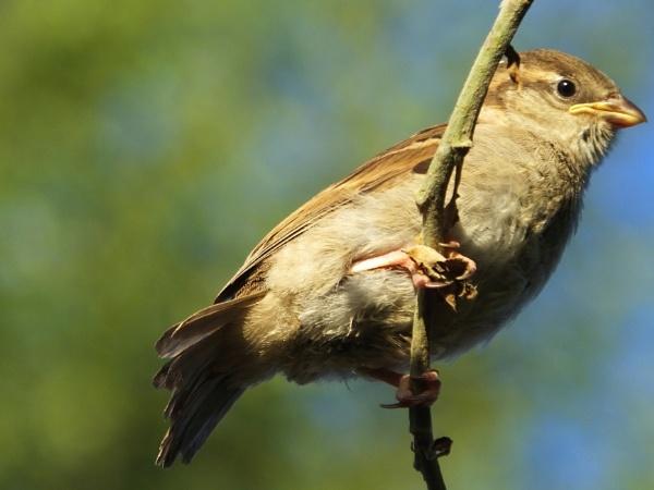 Sunbathing Sparrow by ianmoorcroft