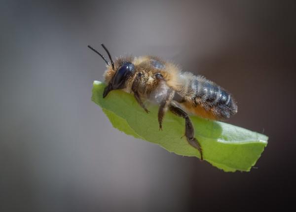 Willughby\'s Leafcutter Bee (Megachile willughbiella) by jasonrwl