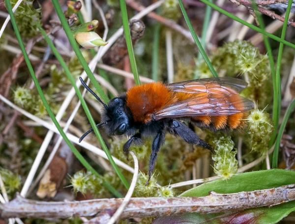 Tawny Mining Bee (Andrena fulva) by jasonrwl