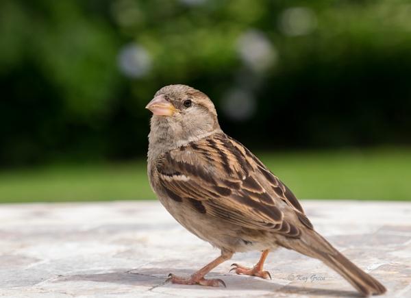 Sparrow (f) by kaz1
