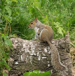 Squirrel (grey)
