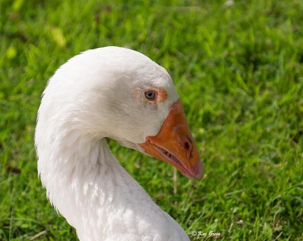 Goosey Gander by kaz1