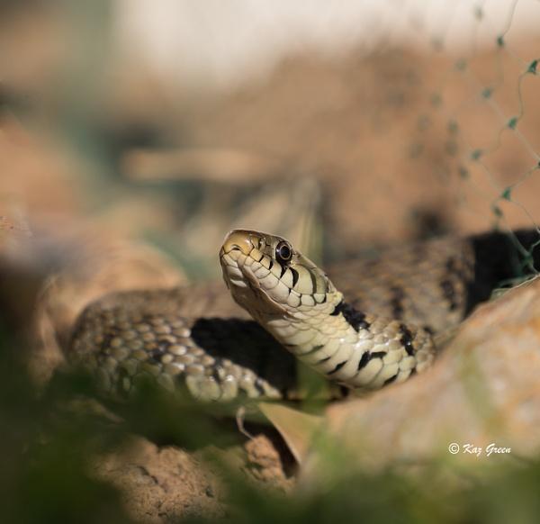 Grass Snake by kaz1