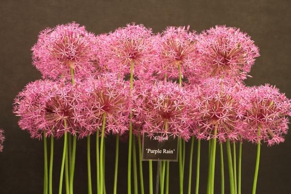 Allium - Purple Rain by Canonshots