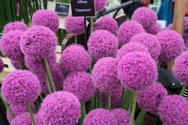 Allium - Giganteum by Canonshots