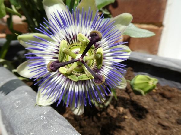 passiflora by russmac