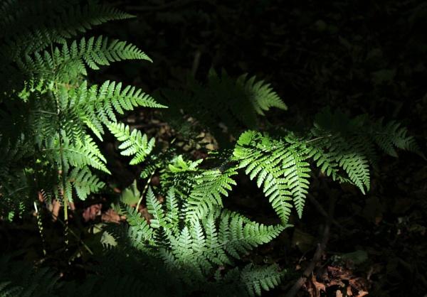 Ferns by ScottishHaggis
