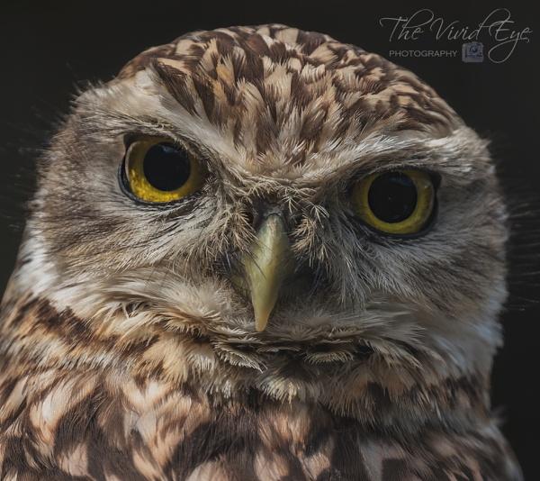 Burrowing Owl by MartinWait