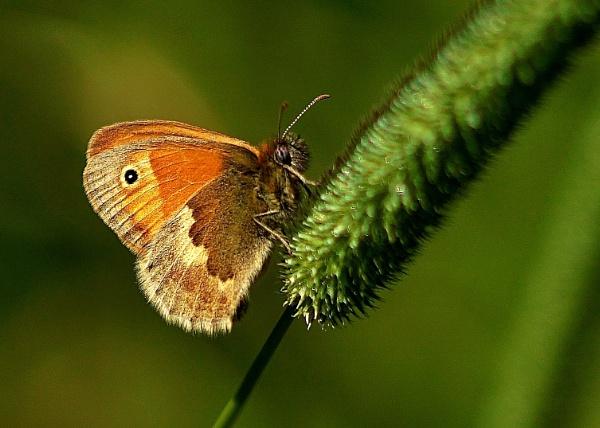 Small Heath Butterfly by georgiepoolie