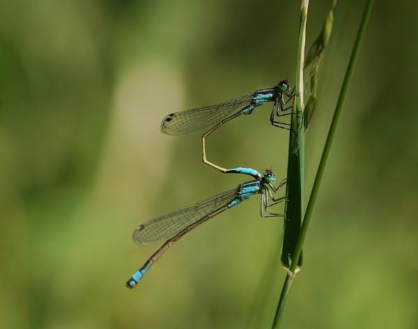 Mating common blue damselfly\'s. by georgiepoolie