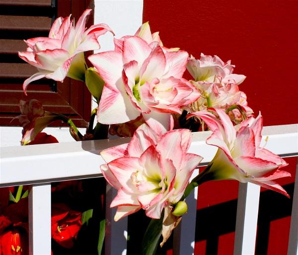 Lilies? by ddolfelin