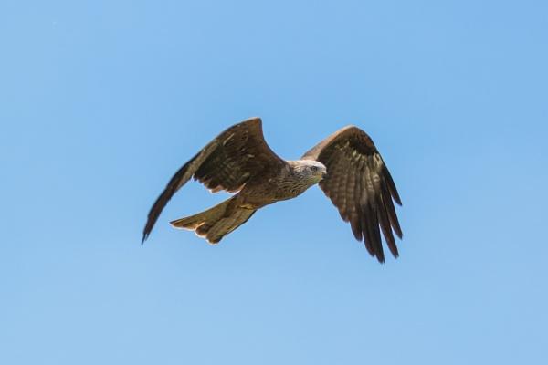 Black kite in flight (2) by Trekmaster01