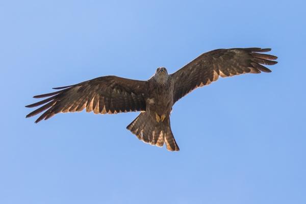 Black kite in flight (3) by Trekmaster01