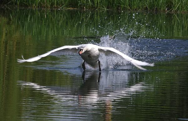 Mute swan takeoff by turniptowers