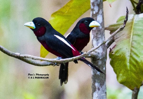 Red & Black Broadbill by Pari56