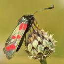 Six-Spot Burnet Moth-Zygaena filipendulae by bobpaige1
