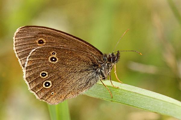 Ringlet-Aphantopus hyperantus by bobpaige1