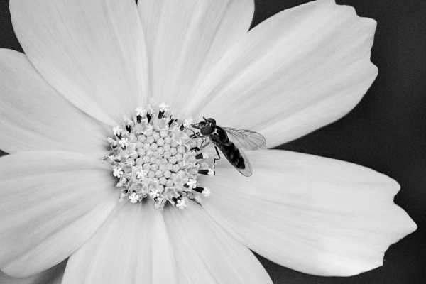Hover fly on Cosmos by frogs123