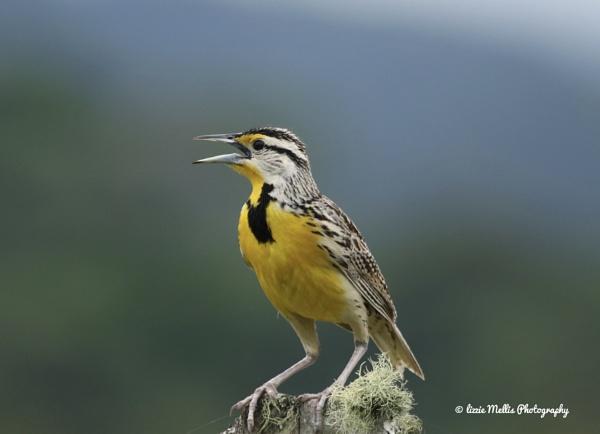 Eastern Meadowlark by Lizzie29