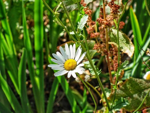 Daisy by KrazyKA