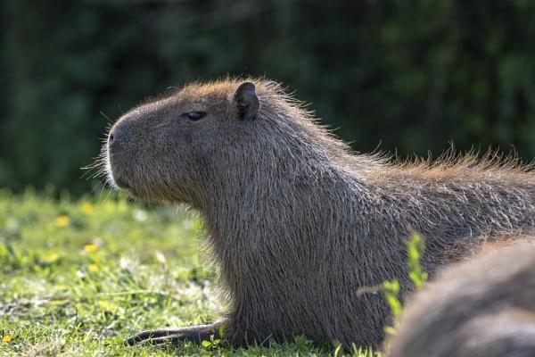 Capybara by Nodulespix