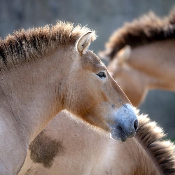 Przewalski\'s horses by Nodulespix