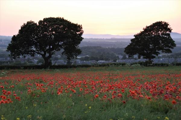 Poppy Field by davyskid