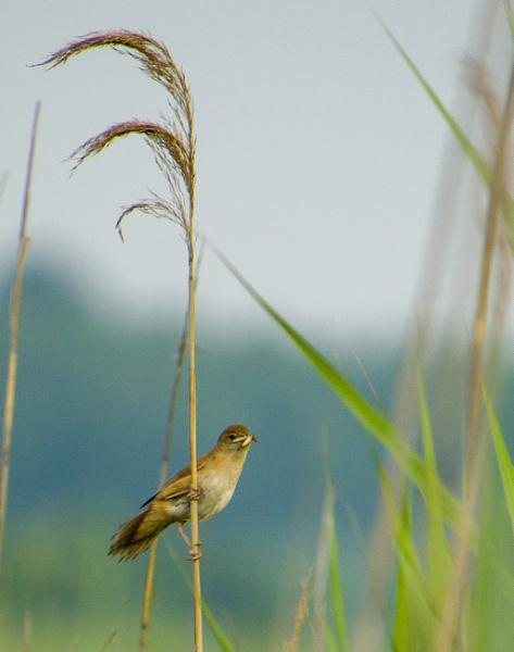 Aquatic warbler by kamil018