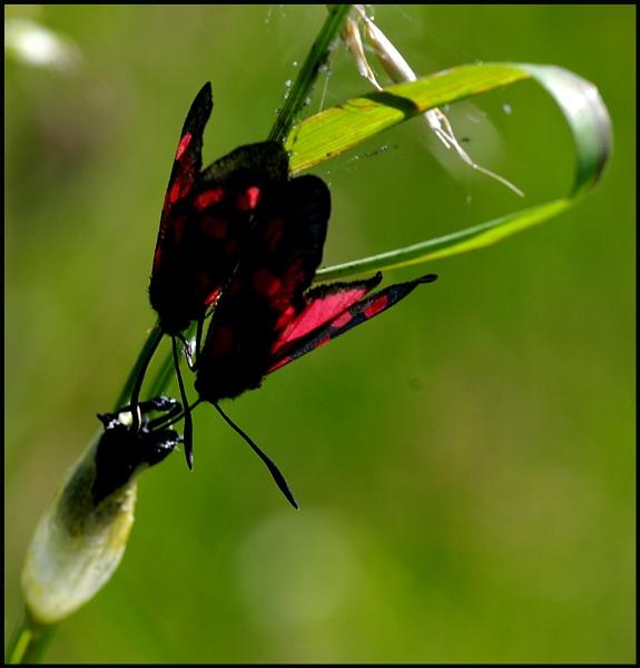 5 spot burnet moths. by Badgerfred