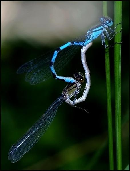 Pair of Common Blue Damselflies. by Badgerfred