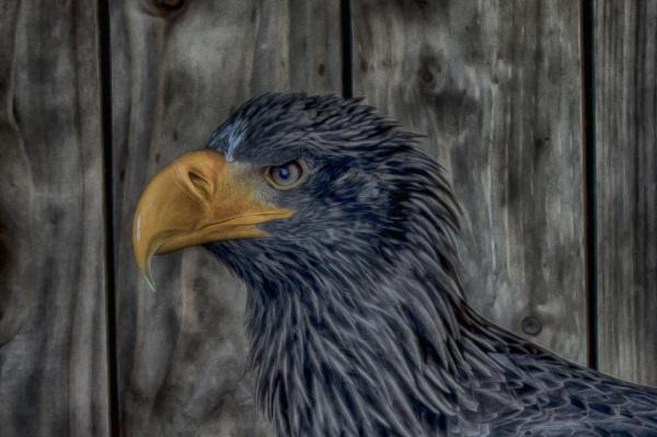 Stella Sea Eagle by DaveCole