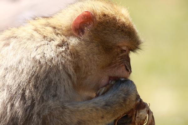 Barbury Macaque by boxer57