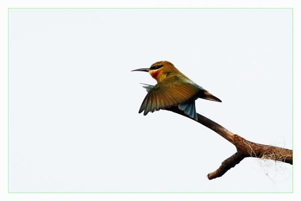 Green Bee Eater 1 by prabhusinha