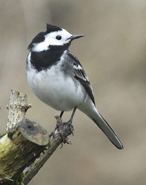 Pied Wagtail by aliciabeesley