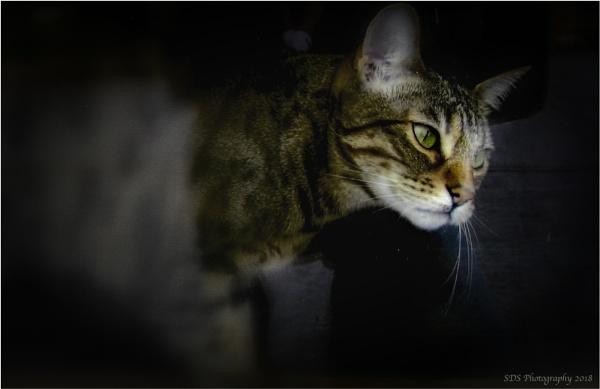 Bengal Cat by Daisymaye