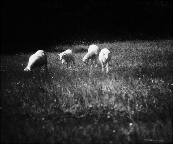 Yesterdays Sheep by Daisymaye