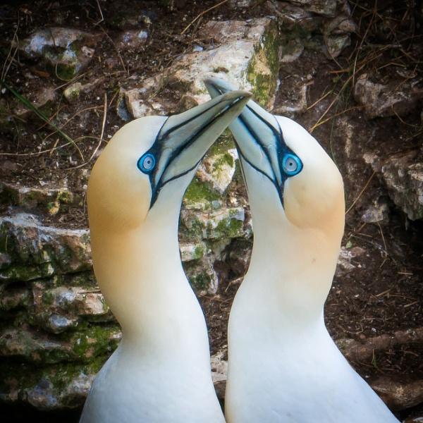 Gannet Greeting by jasonrwl