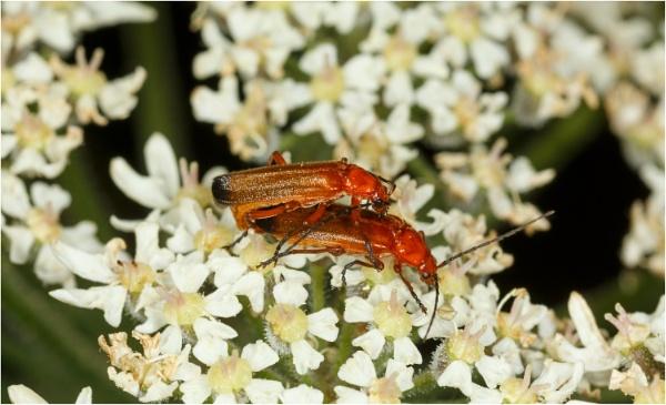 Soldier Beetle by dark_lord