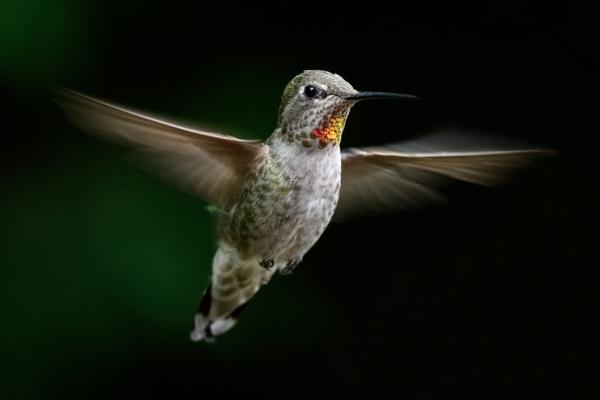 Flying Hummingbird by RobDem