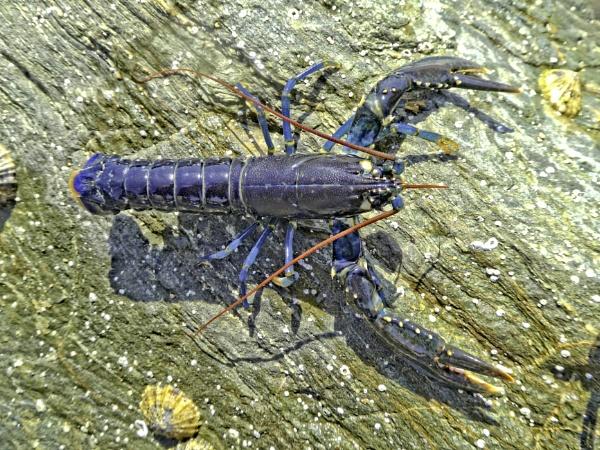 rock pool lobster by pks