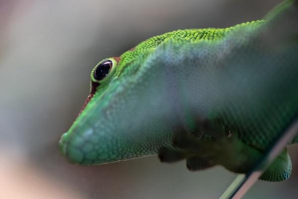 Gecko by gouldii