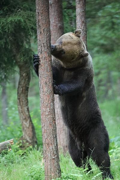Brown Bear by DaveWales