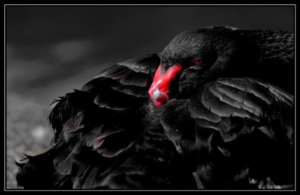 Black Looks by Shedboy