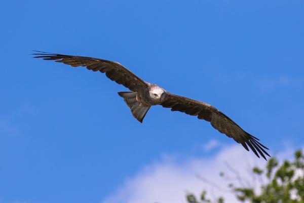 black kite in flight (4) by Trekmaster01