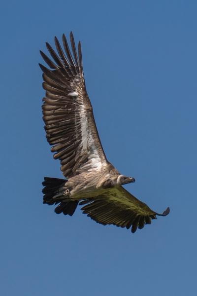 Hooded Vulture in flight (4) by Trekmaster01