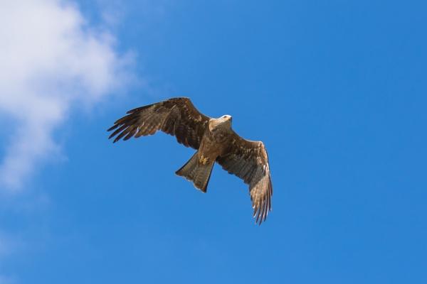 Black Kite in flight (5) by Trekmaster01