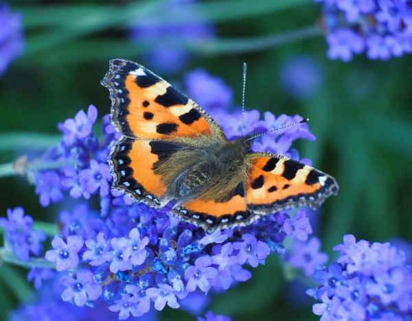 Butterfly - Small Tortoiseshell by DaveRyder